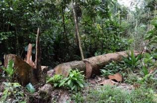 Tramo II tala árboles